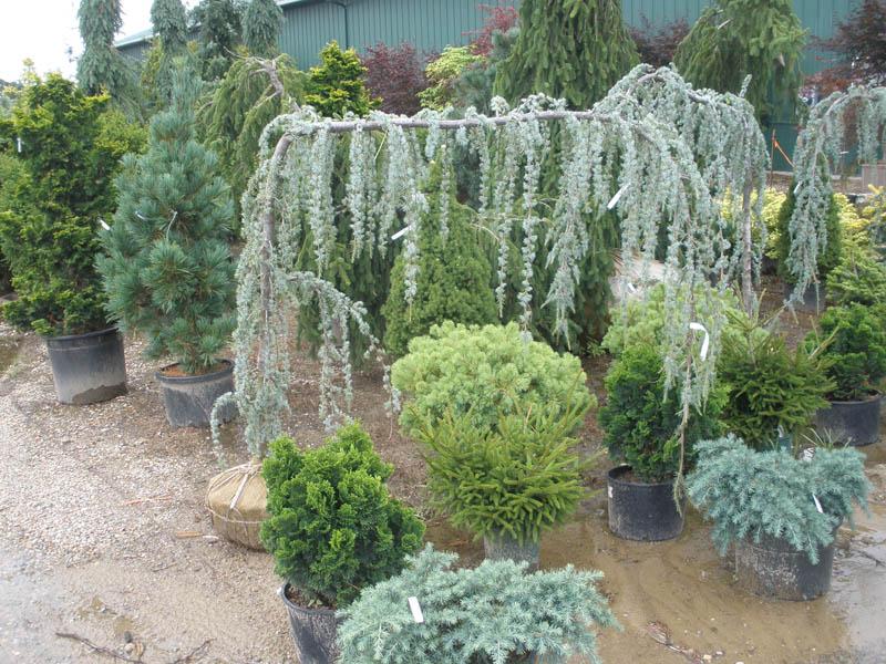 Specialty Evergreens